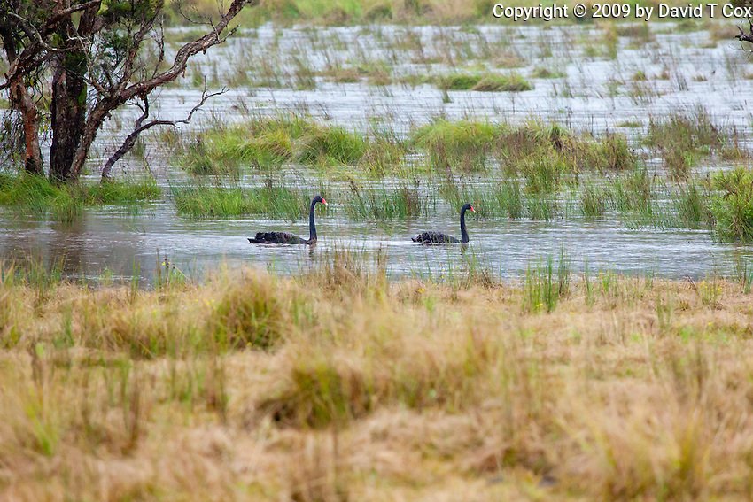 Black Swans in rain, Yurigir NP, NSW, Australia