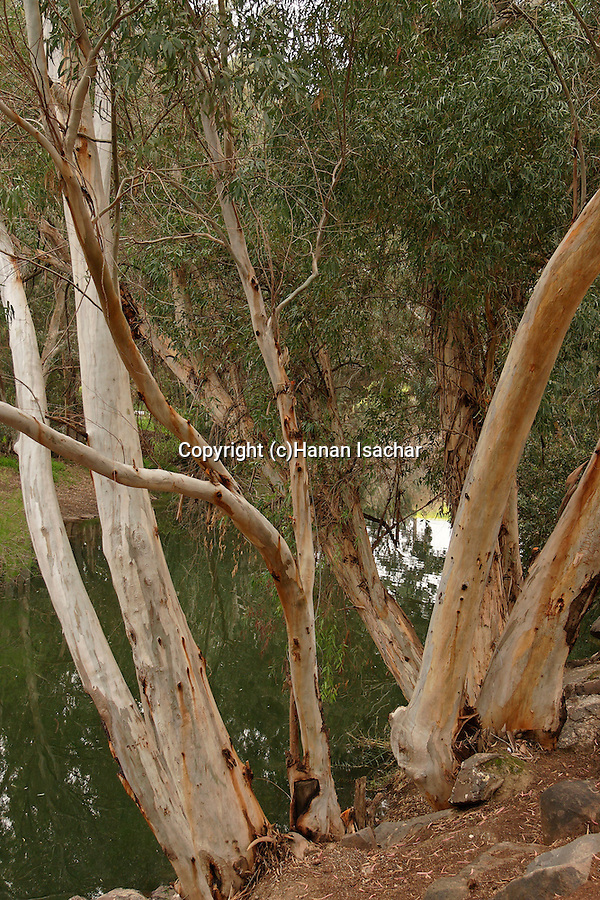 Israel, Jordan Valley, Eucalyptus trees by the Jordan River