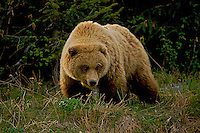 A grizzly bear emerges from the woods into the sedging fields, Lake Clark National Park, Alaska.