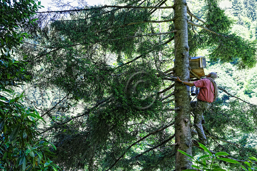 Camlihemsin: Mustafa Memoglu nimbly climbs a pine tree to inspect his trunk hives and this despite his 65 years. ///Camlihemsin: Mustafa Memoglu monte prestement à un sapin pour inspecter ses ruches troncs et ce malgré ses 65 ans.