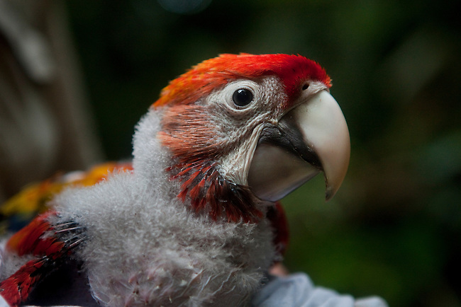 Guatemala, Mayan Biosphere, Peten, Scarlet Macaws, WCS field worker examin a Scarlet Macaw chick