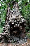 redwood burl at the Redwood Loop