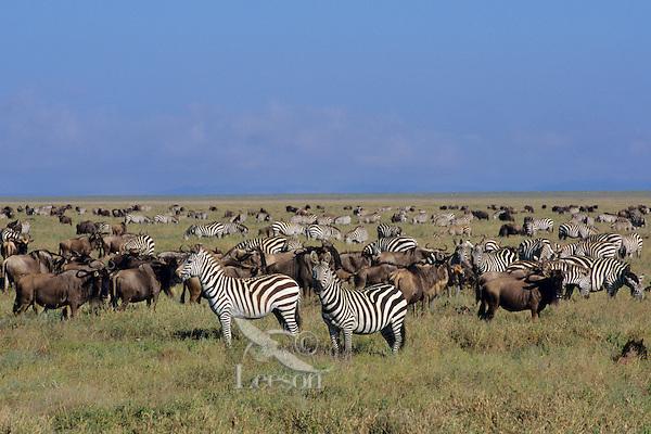 Plains Zebra and wildebeest on the Serengeti Plains, Serengeti National Park, Tanzania.