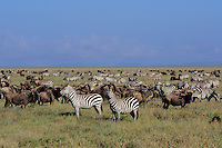 Plains Zebra and wildebeest on the Serengeti Plains, Serengeti National Park, Tanzania.