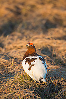 Male willow ptarmigan on the Arctic North Slope tundra, Alaska.