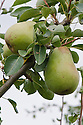 """Pear 'Pitmaston Duchess', early September. An English pear """"raised in 1841 by John Wiliams at Pitmaston, Worcestershire, from 'Duchesse d'Angouleme' x 'Glou Morceau'. Original name 'Pitmaston Duchesse d'Angouleme', renamed 1870. A vigorous triploid cultivar of good quality but subject to scab. A good garden cultivar where space allows cultivation as a bush tree, but rather too vigorous for growing in restricted form."""" ('Pears' by Jim Arbury and Sally Pinhey)"""