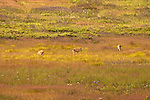 Grazing Deer - Shenandoah National Park, pastoral images for peace of mind.