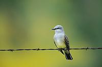 Western Kingbird, Tyrannus verticalis,adult, Enchanted Rock State Natural Area, Texas, USA, April 2001