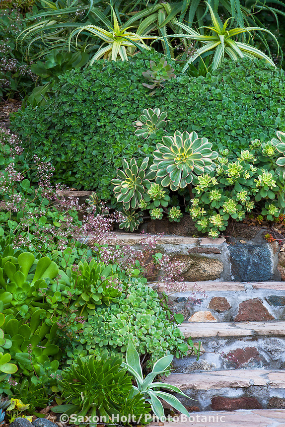 Stone steps through Debra Lee Baldwin Southern California succulent hillside garden with Variegated Aloe arborescens at top and Aeonium haworthia groundcover shrub with Aeonium 'Sunburst' (lrg. rosettes) and Aeonium 'Kiwi' (sm. rosettes) in center. Crassula multicava in bloom, various Aeoniums in lower left