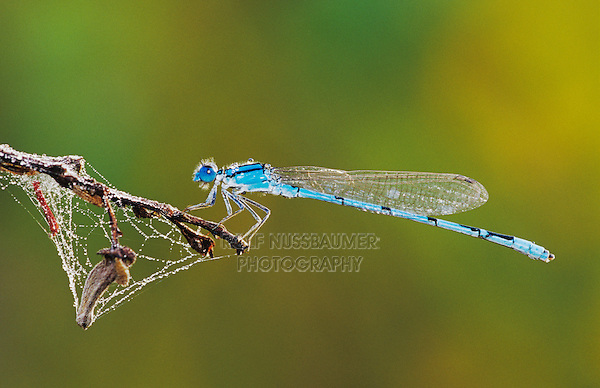 Familiar Bluet, Enallagma civile, male with dew, Willacy County, Rio Grande Valley, Texas, USA