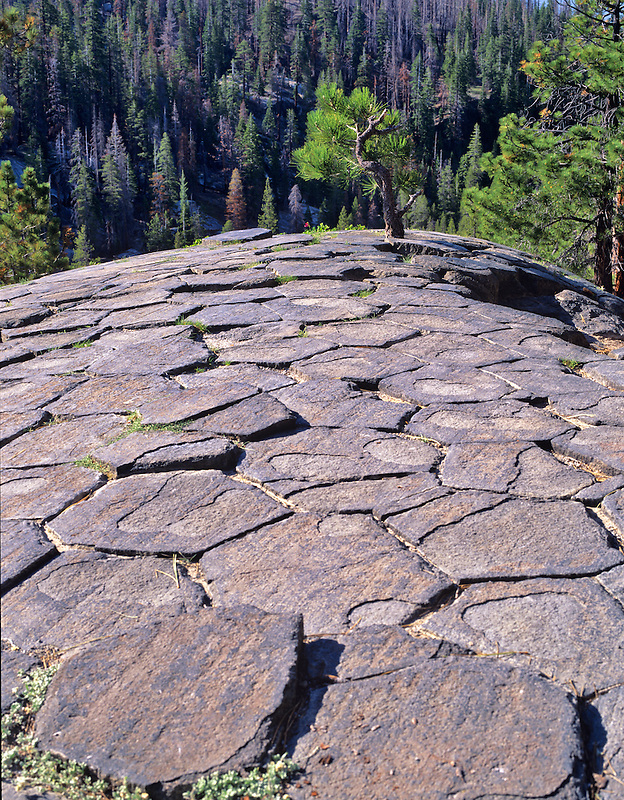 Glaciated tops of jointed columns and tree at Devils Postpile National Monument. California.
