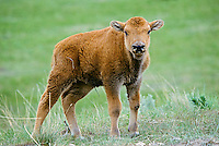 Very Young Bison (Bison bison) calf, Western U.S.