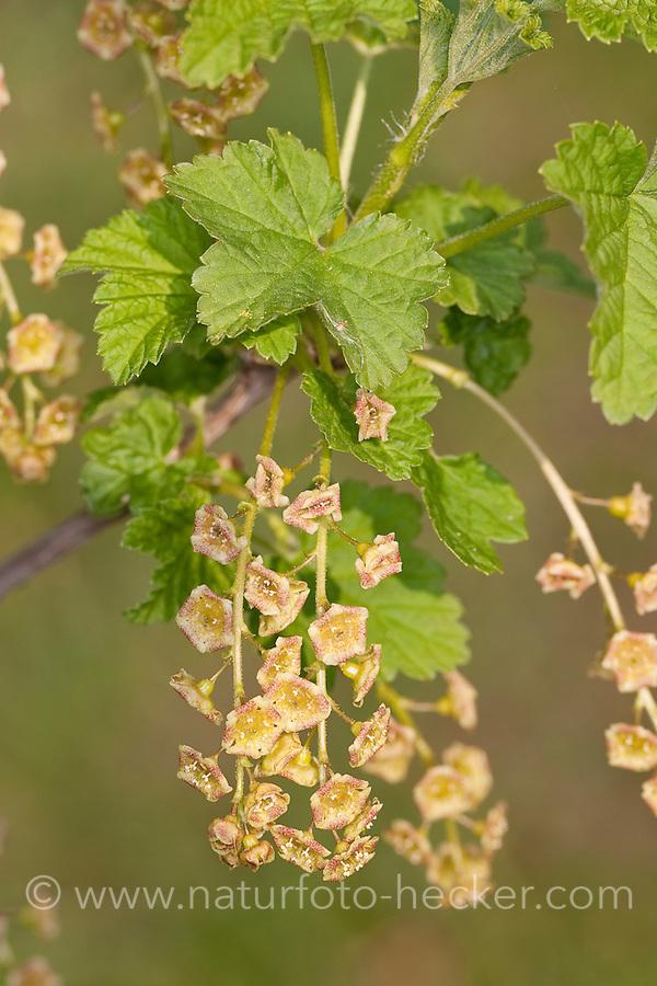 Rote Johannisbeere, Blüten, Ribes rubrum, Currant