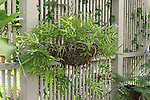 TROPICAL FERN IN HANGING BASKET, NO NAME.