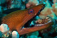 UNDULATED MORAY Gymnothorax undulatus HAWAII.  reef fish Hawaii tropical coral water fishes vertebrate Hawaii dangerous menacing teeth pacifc ocean eel underwater marine