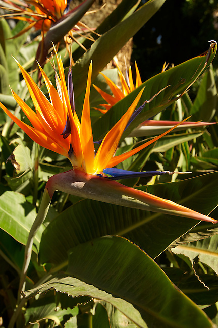 Bird of Paradise Flowers in the Trevelyan Gardens in Taormina Italy, also known as the Giardino Trevelyan