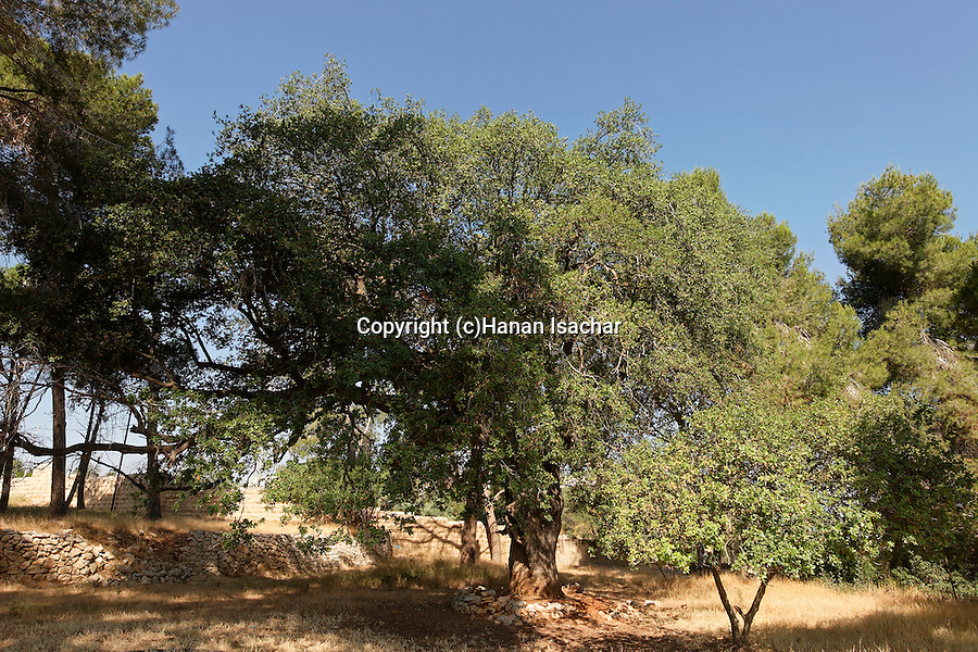 Israel, Jerusalem. Kermes Oak (Quercus calliprinos) in Sharafat