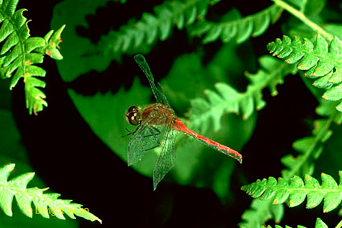 1O05-029a  Skimmer Dragonfly flying - White-faced Meadowhawk Skimmer - Sympetrum obtrusum