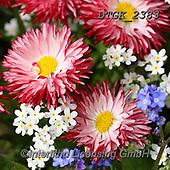 Gisela, FLOWERS, BLUMEN, FLORES, photos+++++,DTGK2383,#f#, EVERYDAY