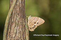 03481-00101 Southern Pearly-Eye (Enodia portlandia) Big Oak Tree State Park Mississippi County, MO
