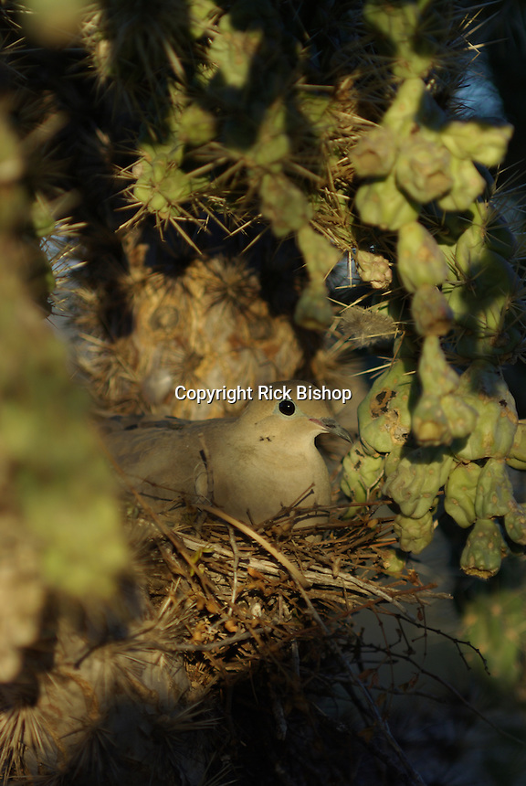 Morning Dove(Zenaida macroura) seen on the nest in a Teddybear Cholla Cactus in southern Arizona on a spring day.