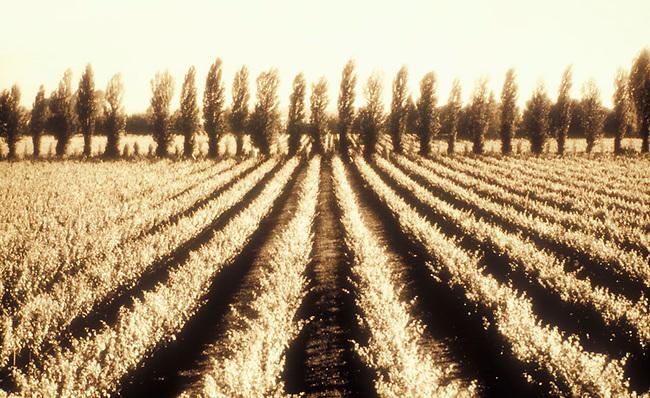 Vineyard on Silverado Trail using high contrast Polaroid film