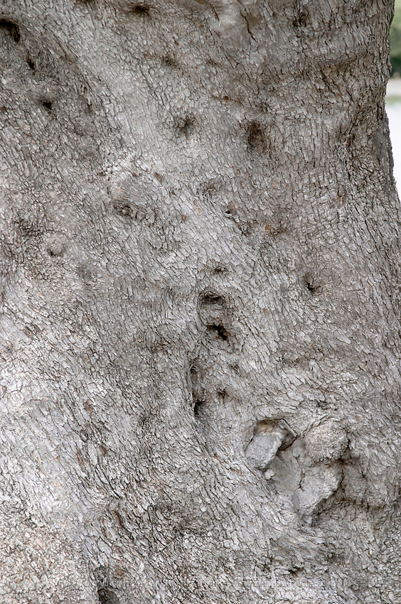 Old olive tree. Detail of trunk and bark. Bacalhoa Vinhos, Azeitao, Portugal