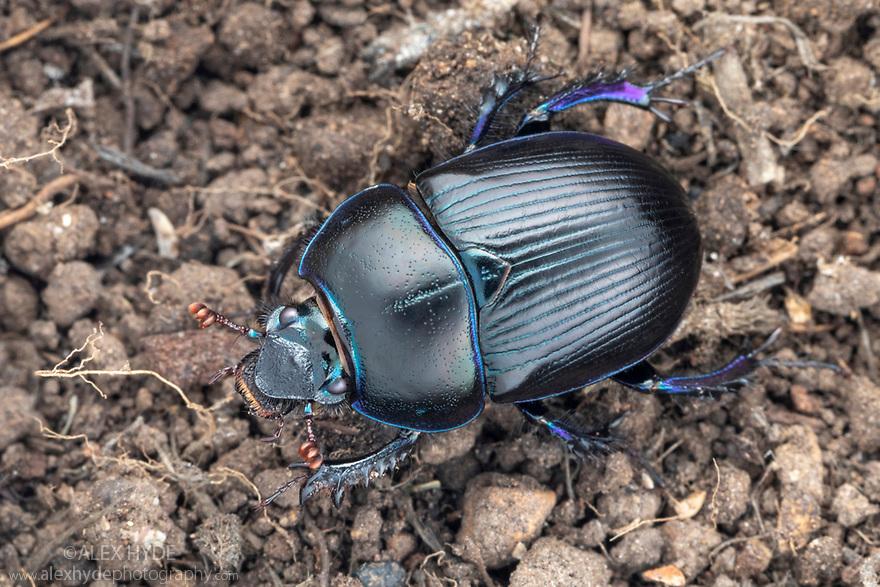 Dor Beetle (Geotrupes stercorarius) Peak District National Park, Derbyshire, UK. July. Focus tacked image.