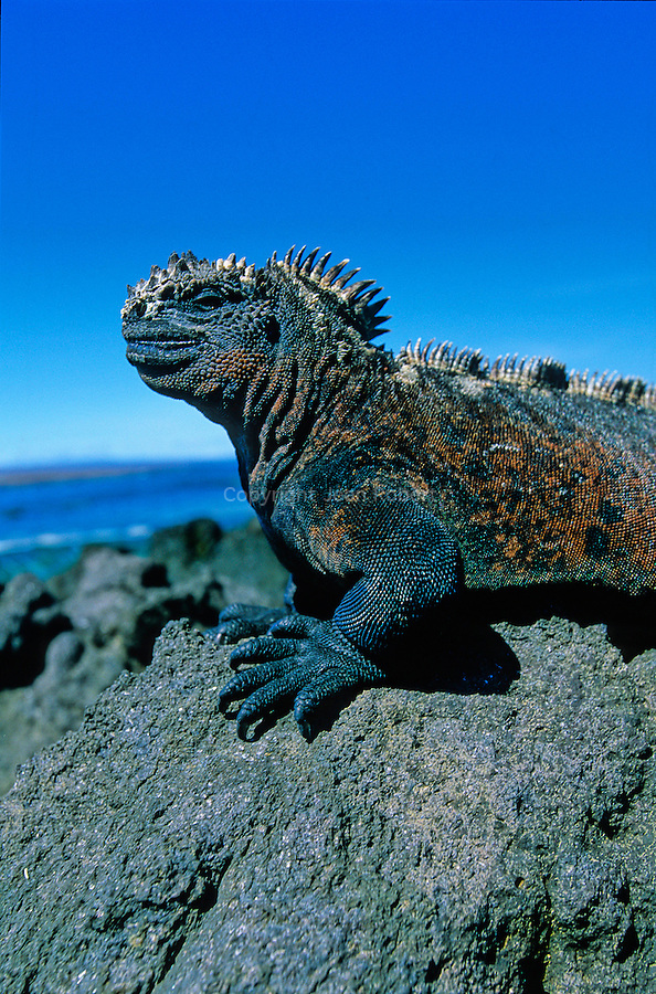 The Galapagos marine iguana is the world's only sea-going lizard and is found on all of the main islands<br />