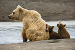 Three brown bear cubs sit on a beach with their mother in Lake Clark National Park, Alaska.
