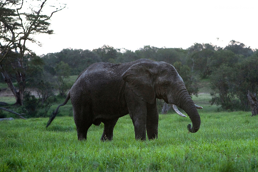 Elephant at the Ol Pejeta Conservancy Laikipia, Kenya on January 18, 2010. Photo credit: Benedicte Desrus