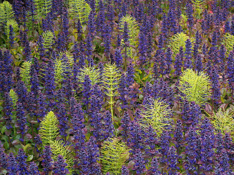 Purple Ajuga and horsetail rush. The Connie Hansen Garden. Lincoln City, Oregon