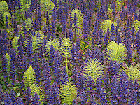 Purple Ajuga and horsetail rush. The Connie Hansen Garden. Lincoln City, Oregon
