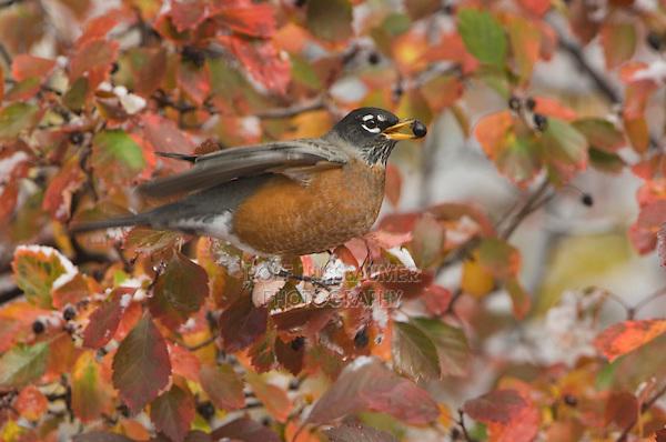 American Robin, Turdus migratorius, male eating berries of Black Hawthorn (Crataegus douglasii) fallcolors snow, Grand Teton NP,Wyoming, USA