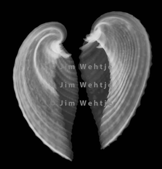 X-ray image of a heart cockle seashell (white on black) by Jim Wehtje, specialist in x-ray art and design images.