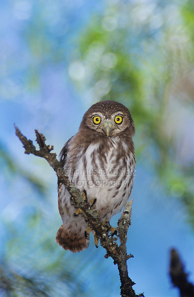 Ferruginous Pygmy-Owl, Glaucidium brasilianum, young, Willacy County, Rio Grande Valley, Texas, USA, June 2004