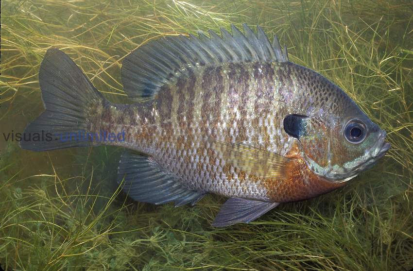 Bluegill Sunfish (Lepomis macrachibus) Ohio, USA.