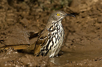 582000045 a wild long-billed thrasher toxostoma longirostre bathes in a small pond in the rio grande valley in south texas