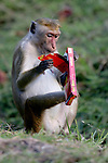 Toque Macaque Playing With Human Trash