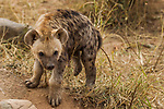 Spotted Hyena (Crocuta crocuta) five month old male pup, Kruger National Park, South Africa