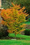 9479-CD Coral Bark Japanese Maple, Acer palmatum `Senkaki' or `Sangokaku', in Fall color, at Tualatin, Oregon.