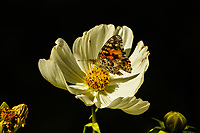 A Painted Lady Butterfly alights on a flower in Colorado during its migration south for the winter.
