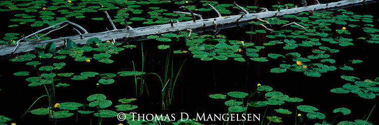 A downed lodgepole pine sits across Isa lake among water lilies in Yellowstone National Park, Wyoming.