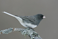 Dark-eyed Junco - Junco hyemalis (Slate-colored race) - male