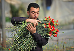 A Palestinian man harvests carnations in a greenhouse in Rafah, in the southern part of the Gaza Strip. Gazan farmers once exported more than 50 million cut flowers a year, but the Israeli government's blockade of the territory stopped most of that commerce. Under intense international pressure, Israel partially eased its restrictions on flower exports in 2010, yet sales to European markets remain only a quarter of what they once were.