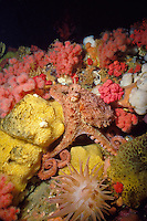 Giant Pacific Octopus (Octopus dolfleini) hides among Pink Soft Corals and sponges underwater in Browning Pass, off northern Vancouver Island, British Columbia, Canada.