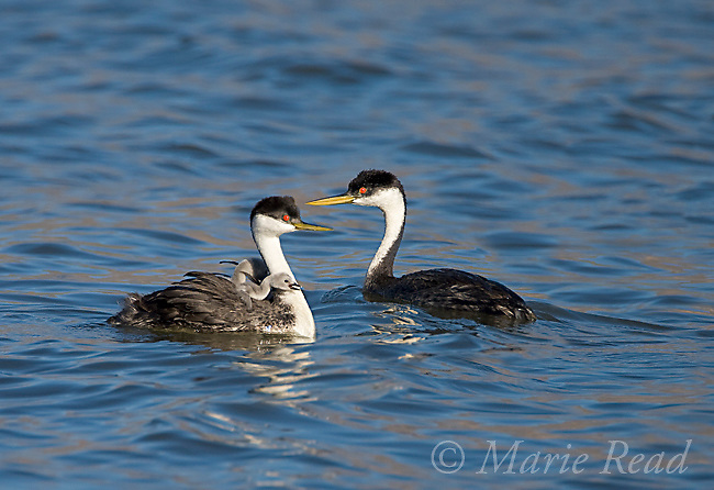Western Grebes (Aechmophorus occidentalis), two adults one with young riding on its back, Kern County, California, USA