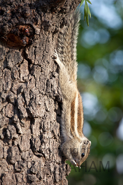 Common palm squirrel feeing on a nut in garden of former Viceroy's Residence, New Delhi, India