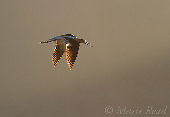 American Avocet (Recurvirostra americana) calling in flight, backlighting, Bridgeport Reservoir, California, USA