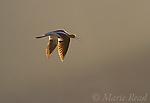 American Avocet (Recurvirostra americana) calling in flight, backlighting, Bridgeport Reservoir, California, USA